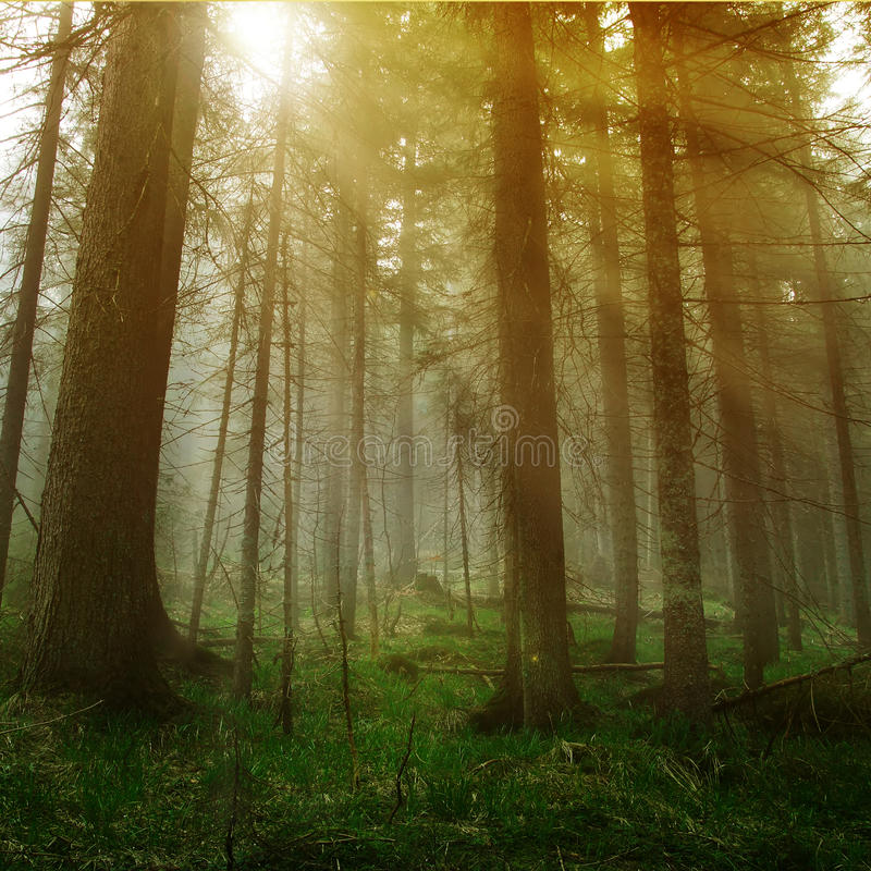 Sunshine in forest royalty free stock photo