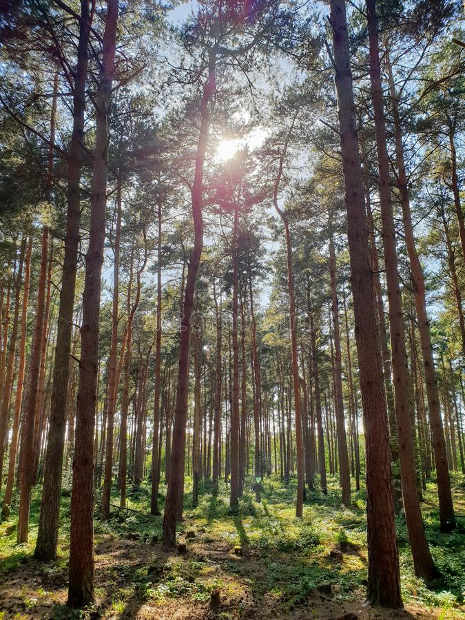 Sunshine through forest trees royalty free stock images