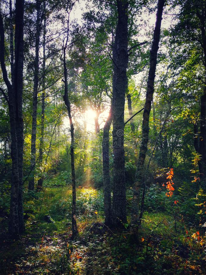 Sunshine In the forest between trees stock photo