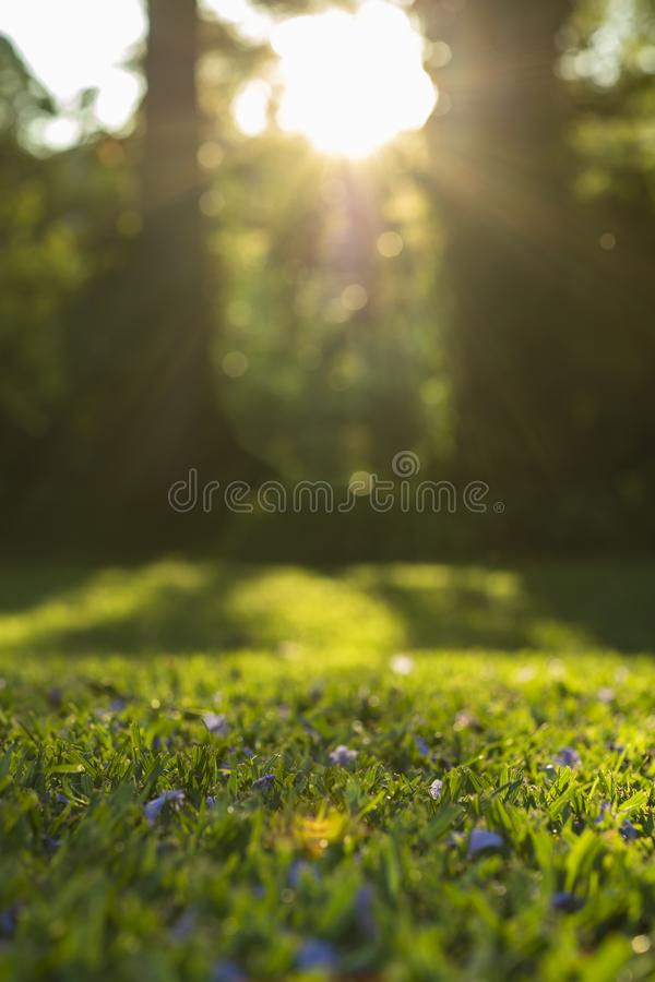 Sunshine on grass with purple flowers. Green grass. royalty free stock image