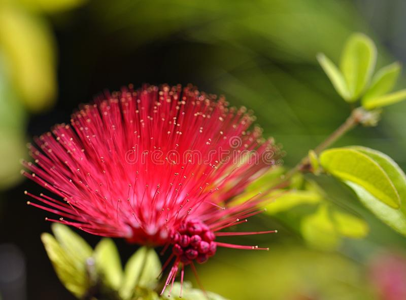 Sunshine Mimosa Blossom. A macro image of a single Sunshine Mimosa (Mimosa strigillosa) blossom with selective focus and very shallow depth of field stock photo