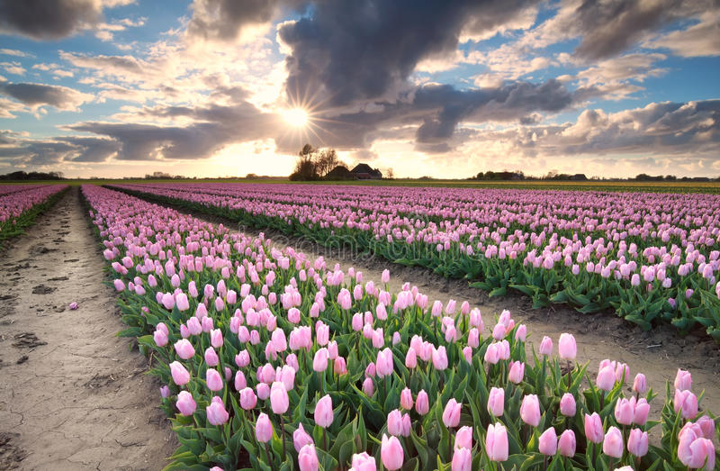 Sunshine over tulip field royalty free stock images