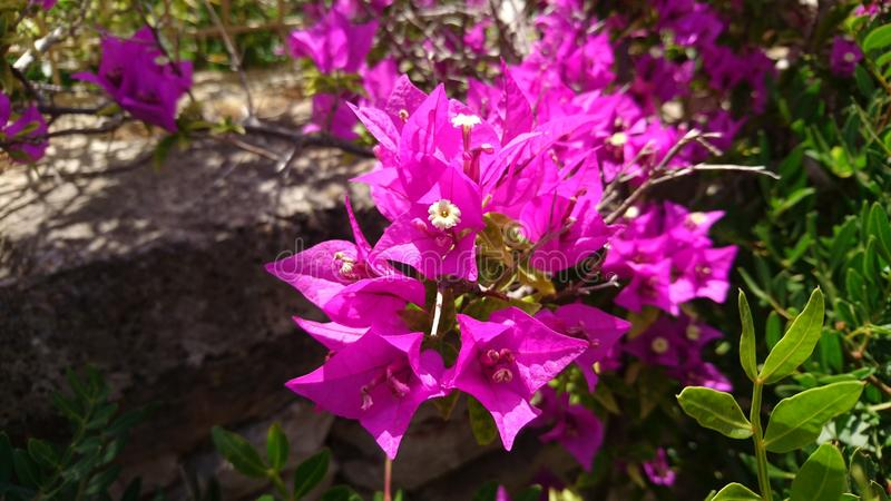 Sunshine on pink flower in south africa royalty free stock images