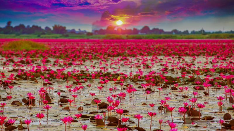 Sunshine rising lotus flower in Thailand stock photo