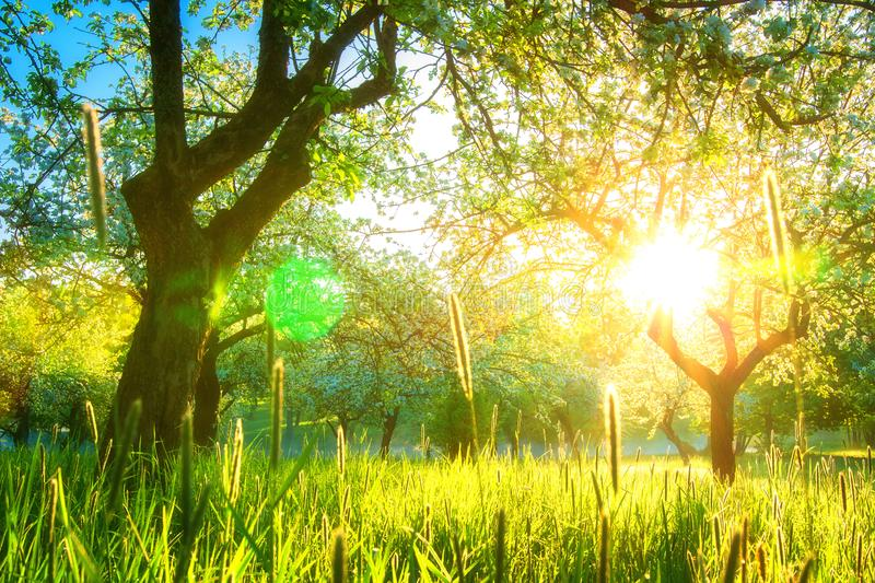 Sunshine in spring garden. Sunshine in spring blossoming orchard royalty free stock photography