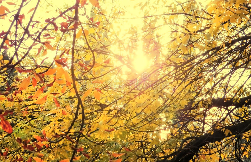 Sunshine and tree branch autum leves background. 1 royalty free stock image