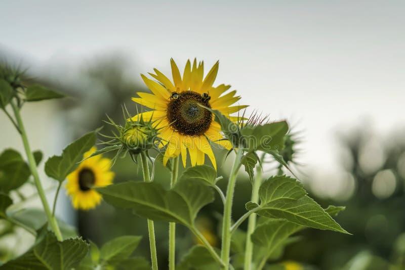 Sunshiny солнцецвет в летнем дне, пчелы собирает нектар стоковое изображение