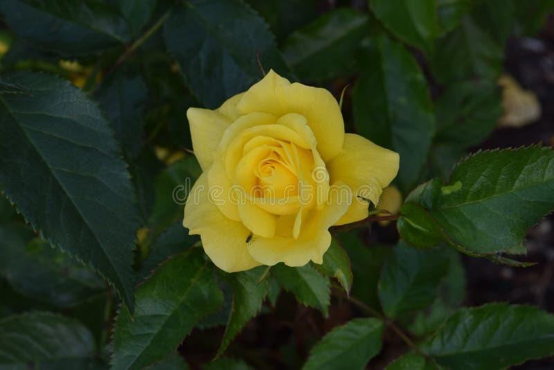 Sunsprite gelbe Rose Flower stockbild