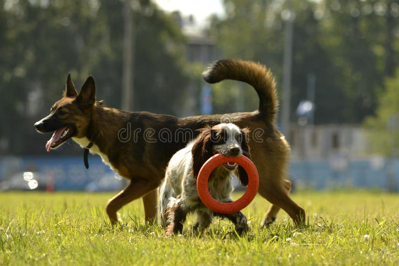 Dogs play with each other. Merry fuss puppies. Young dog education, cynology, intensive training of dogs. Sunstroke, health of pets in the summer. How to stock images