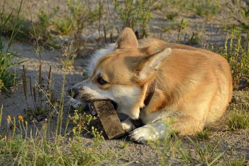 Sunstroke, zdrowie zwierzęta domowe w lecie Corgi pembroke obraz stock