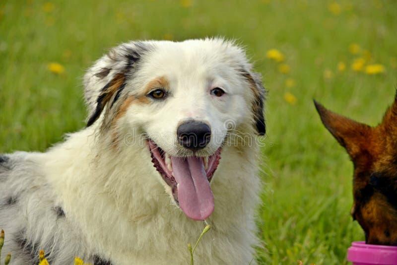 Sunstroke, zdrowie zwierzęta domowe w lecie Młody australijski pasterski pies aussies Dlaczego ochraniać twój psa od przegrzania  obrazy stock