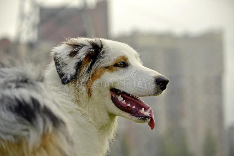 Sunstroke, zdrowie zwierzęta domowe w lecie Młody australijski pasterski pies aussies Dlaczego ochraniać twój psa od przegrzania  zdjęcia stock