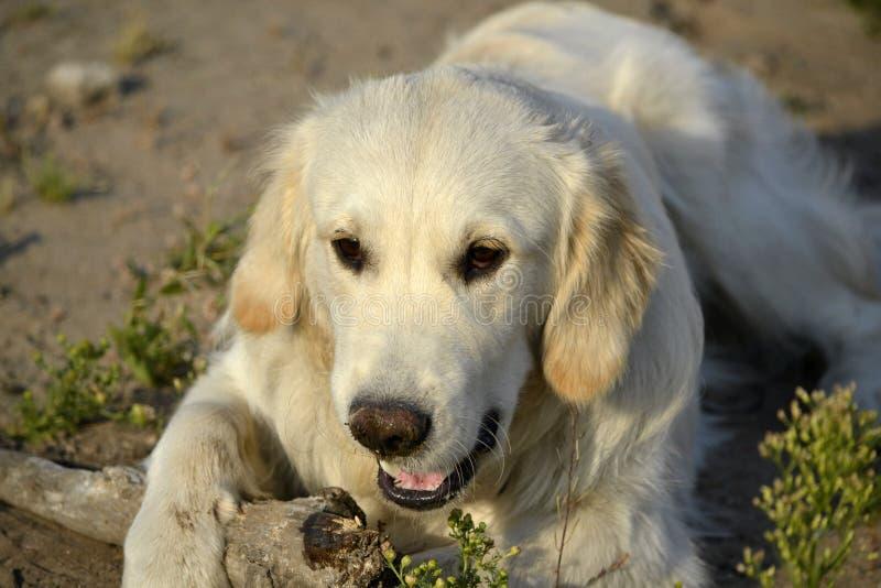 Sunstroke, zdrowie zwierzęta domowe w lecie tła psi szary labradora szczeniaka tyły aporteru widok obrazy stock