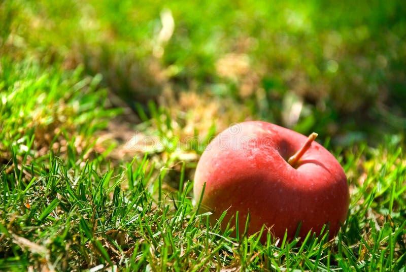 Sunt rött äpple arkivbild