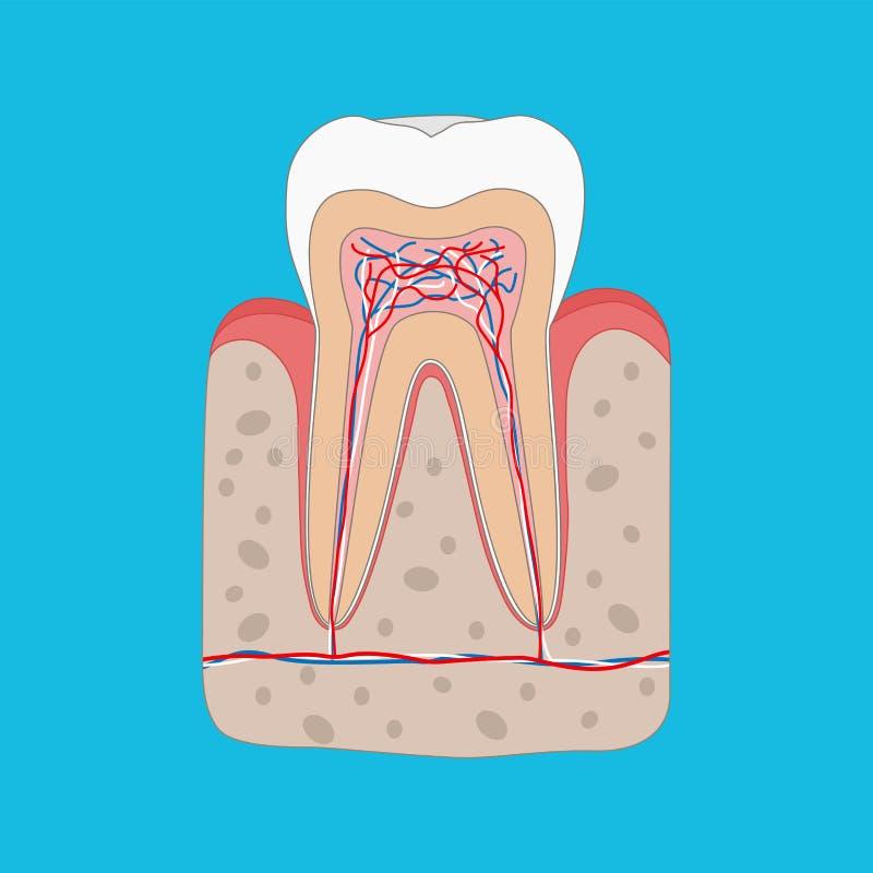 Sunt tanddiagram, tandtvärsnitt och anatomi av sunt gummi Medicinsk tand- affischillustration i plan design stock illustrationer