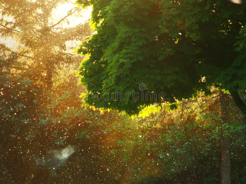 Suny drzewo obraz royalty free