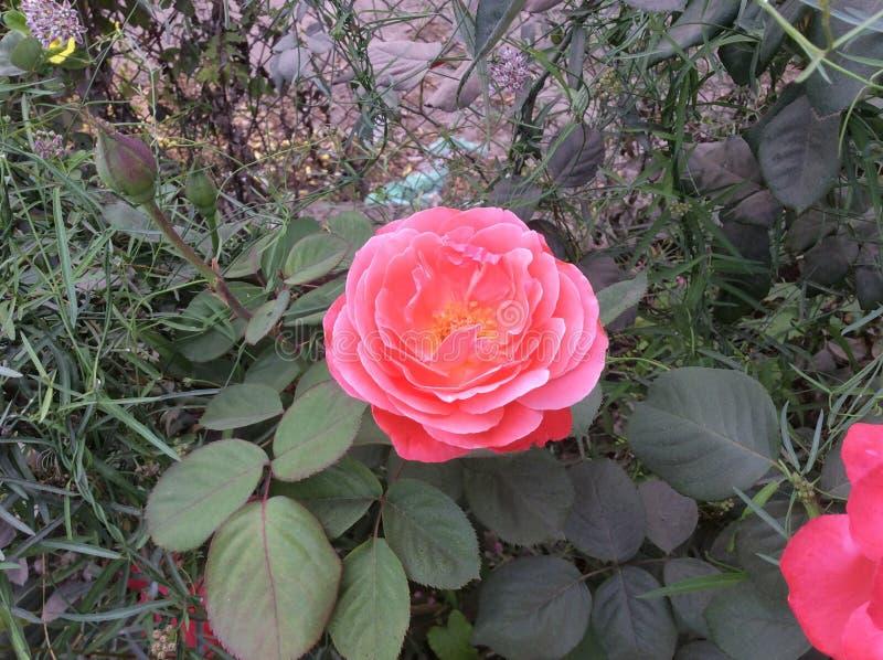 Suocera Rosa immagine stock