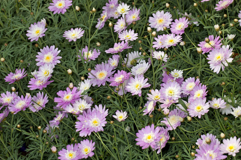 Supacrest延命菊(Argyranthemum frutescens) 免版税库存图片
