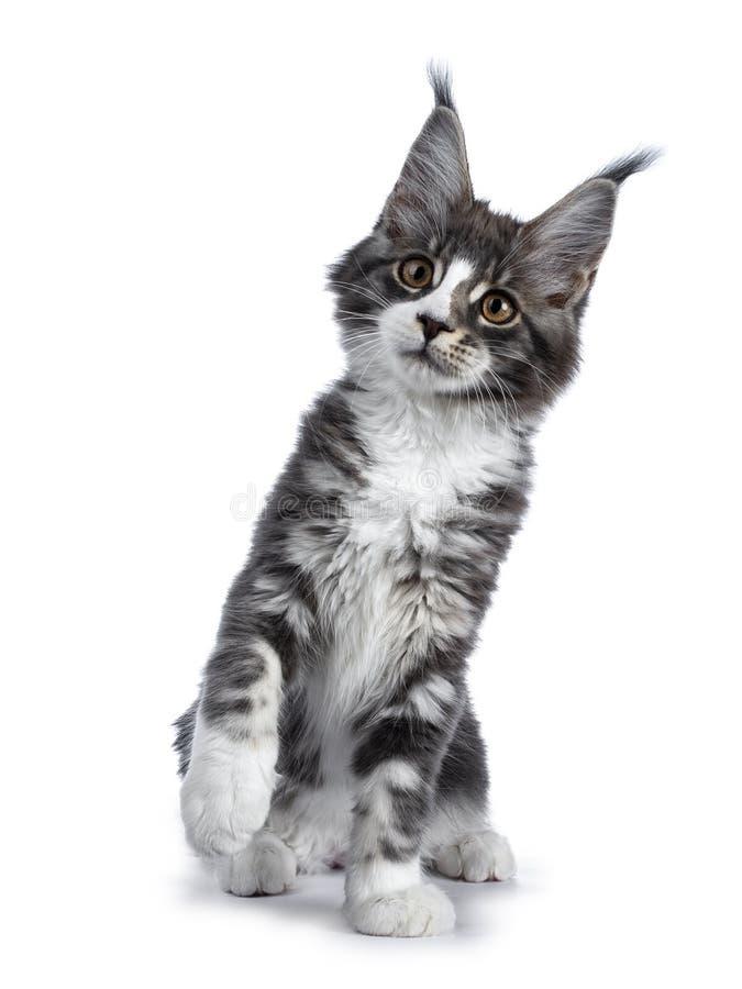 Super śliczny błękitny tabby z białym Maine Coon kota figlarki obsiadaniem z frontową łapą podnosił/bawić się, przyglądający up o zdjęcia stock