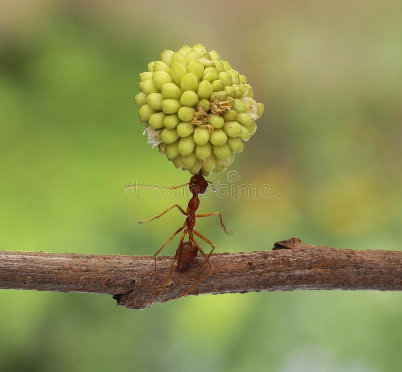 Super ant royalty free stock photography