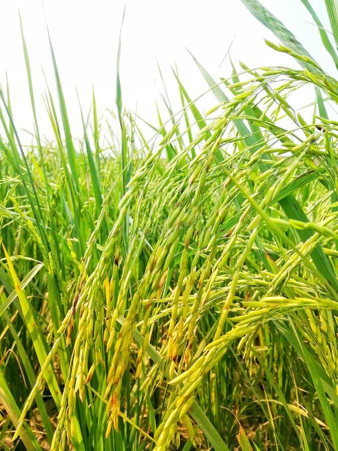 Super Basmati Rice Closeup View in Morning stock images
