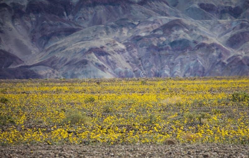 Super bloei in Doodsvallei, CA royalty-vrije stock afbeelding