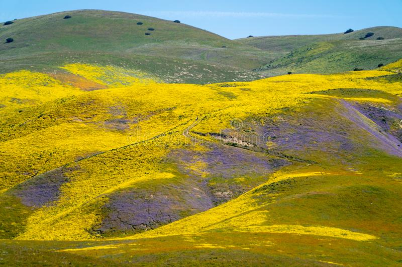 Super bloom at Carrizo Plain National Monument in California. Purple and yellow wildflowers on the rolling hills royalty free stock image