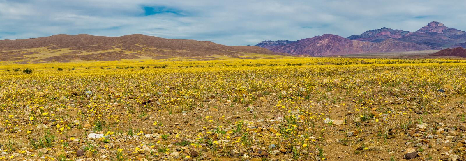 Super Bloom. 2016 Mojave Desert Wildflower Super Bloom, Death Valley National Park, California royalty free stock photos