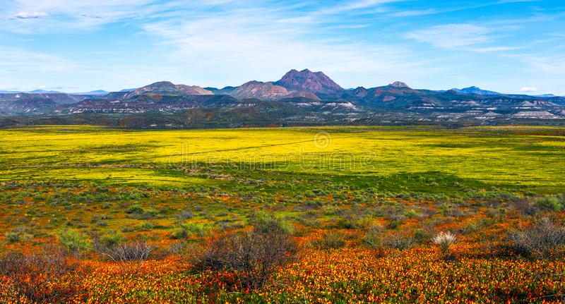 Super bloom spring wildflowers landscape panorama. Panoramic view of of spring wildflowers in the Arizona desert during a super bloom stock photography