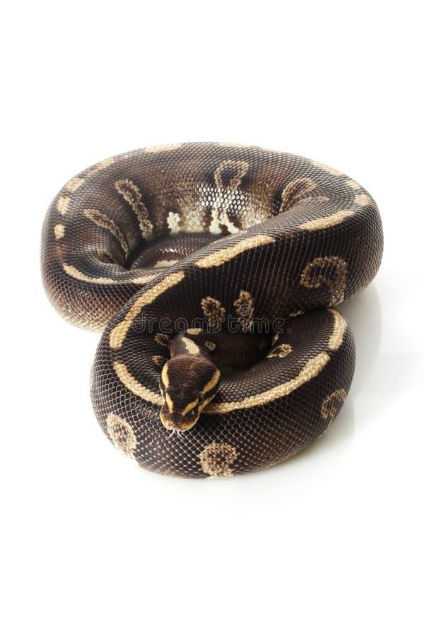 Super Chocolate Ball Python Stock Images