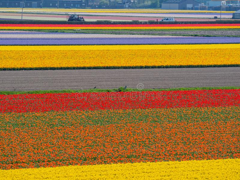 Super colorful rainbow tulips farm in blossom , saw from the famous Keukenhof stock photos