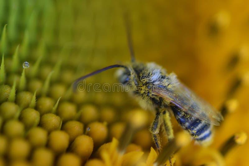 Super crisp and vivid bumblebee pollinates Orange flower bright vivid gorgeous micro photography stock images