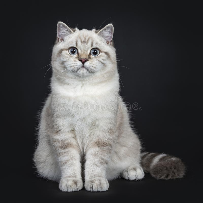Super cute blue tabby point British Shorthair cat kitten, Isolated on black background. Super cute blue tabby point British Shorthair cat kitten sitting royalty free stock photo