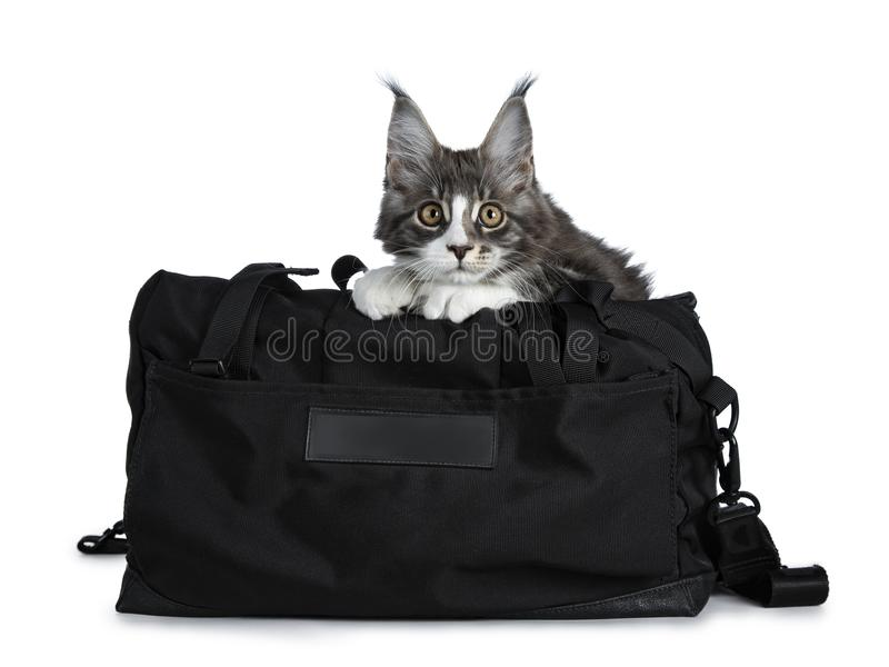 Super cute blue tabby with white Maine Coon cat kitten sitting in black sport bag decorated with black cross pattern with front pa stock photo