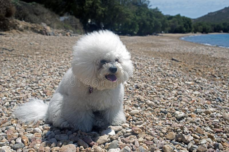 A super cute bolognese breed dog like a toy at the beach in summer time.  stock photos