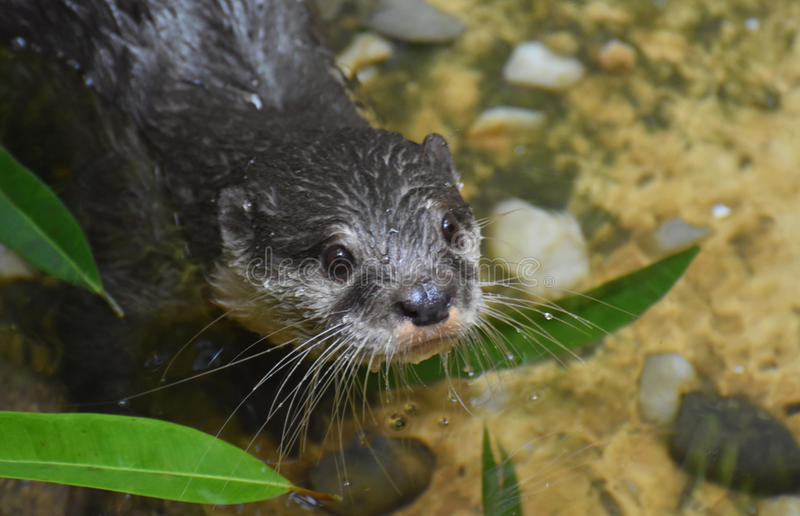 Absolutely Adorable Face of a Precious River Otter stock photo
