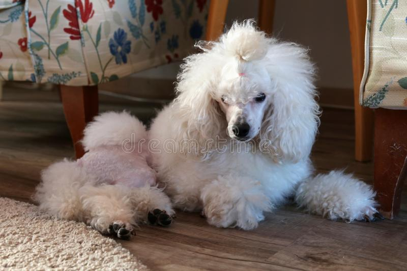 Super Cute and Fluffy White Miniature Poodle. Super cute furry and fluffy miniature poodle photographed indoors. The dog is white and groomed beautifully. It stock images