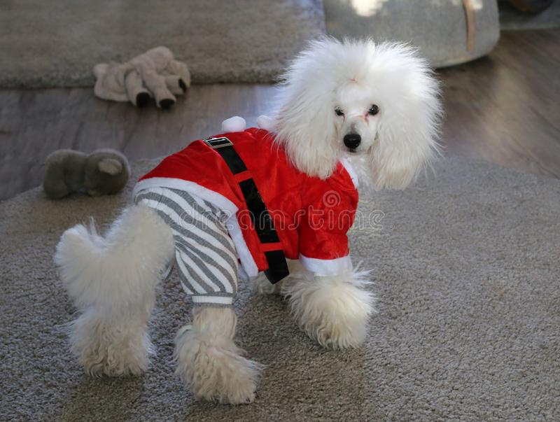 Cute and fluffy white poodle puppy wearing a Christmas coat stock images