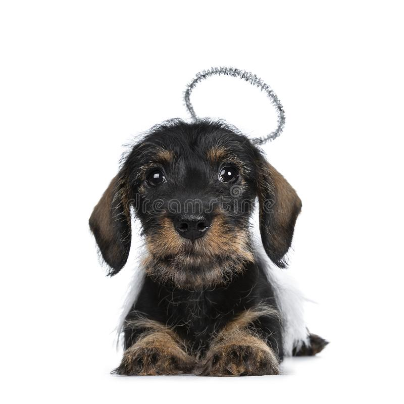 Super cute Mini Dachshund wirehaired , Isolated on white background stock image