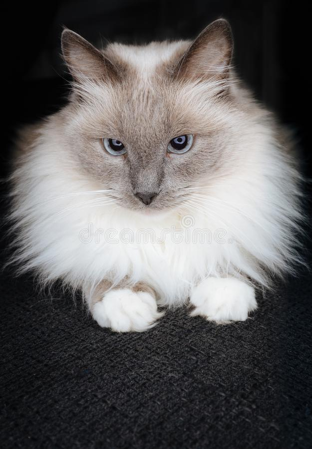 Super cute ragdoll cat posing as a little ball of fur with beautiful catchy eyes and curious look stock photo