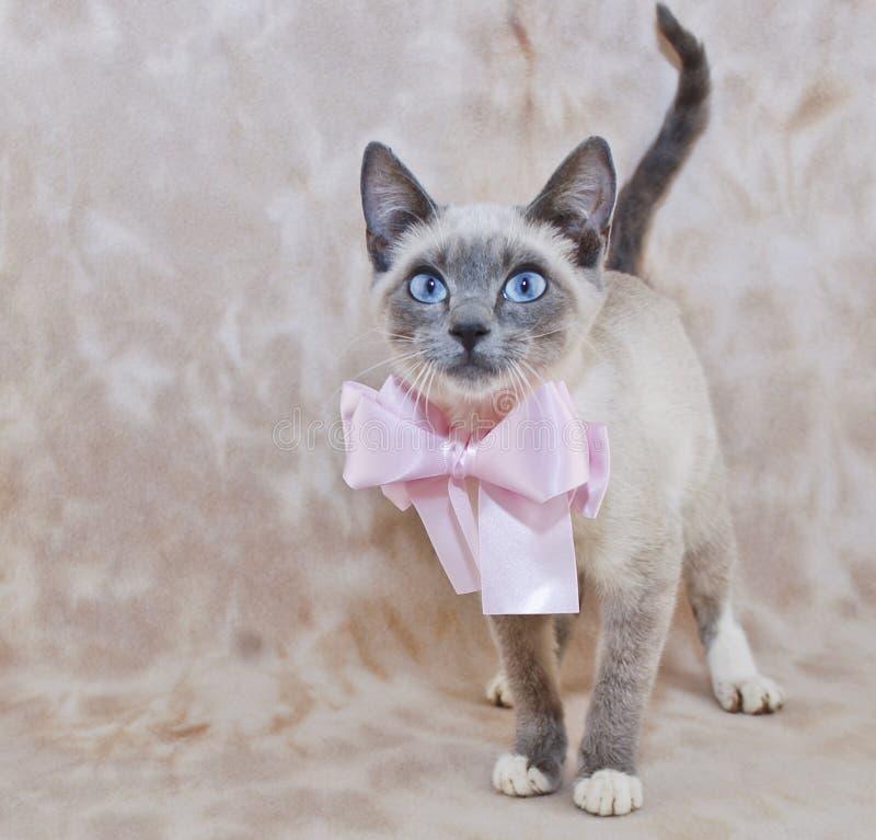 Download Super Cute Siamese Kitten stock photo. Image of fuzzy - 23122206