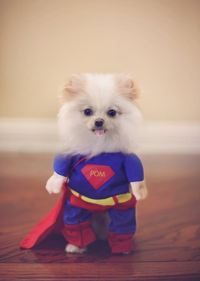 Super dog costume royalty free stock image