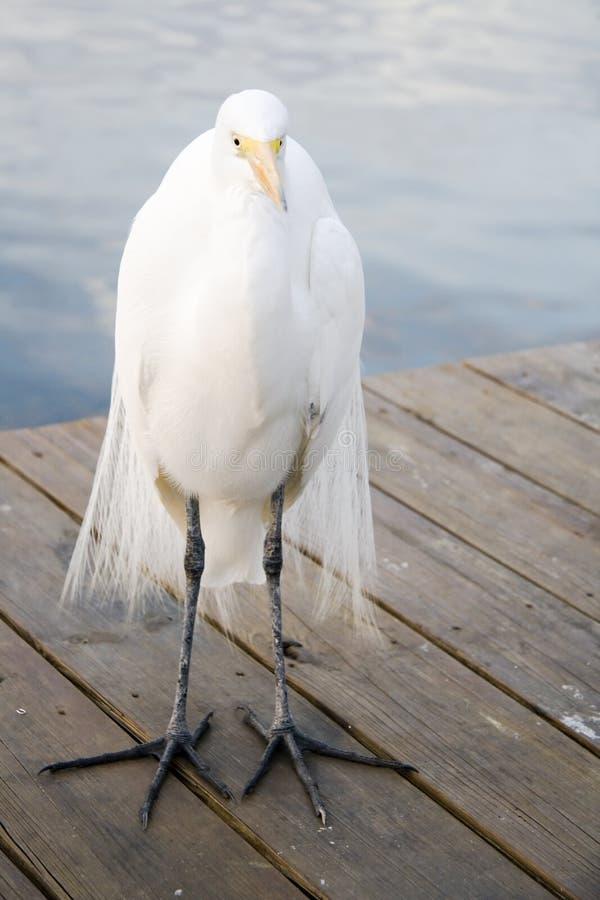 super egret zdjęcie royalty free