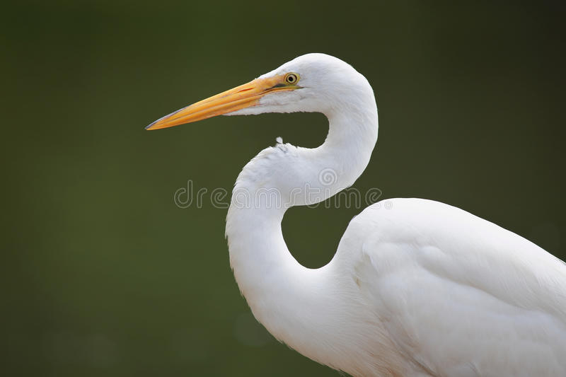 super egret zdjęcie stock