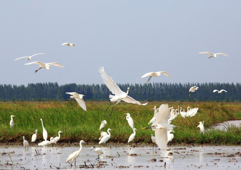 super egret white obrazy royalty free
