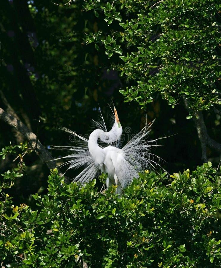 super egret white obraz stock