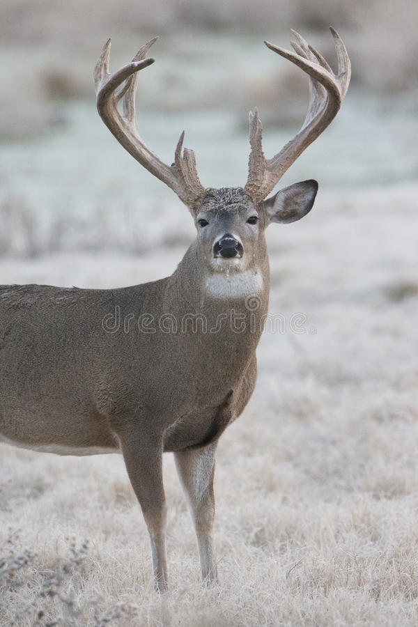 Free Super High Racked Whitetail Buck On Frosty Morning Royalty Free Stock Image - 47143756