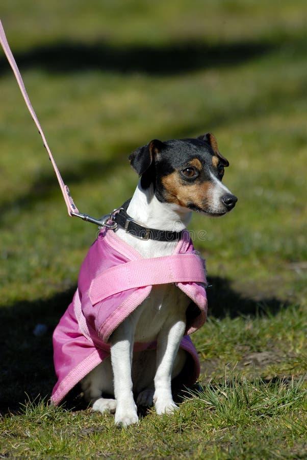 Super Hond stock afbeeldingen