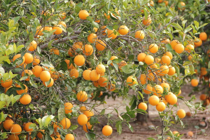 Super juicy and sweet oranges royalty free stock images