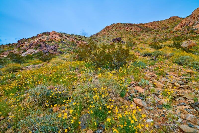 Super kwiat w pustyni przy Joshua drzewem NP fotografia royalty free